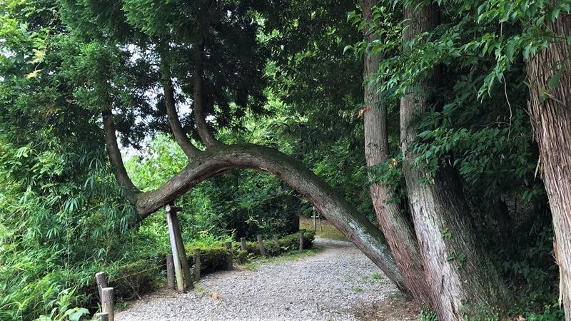 アーチの木